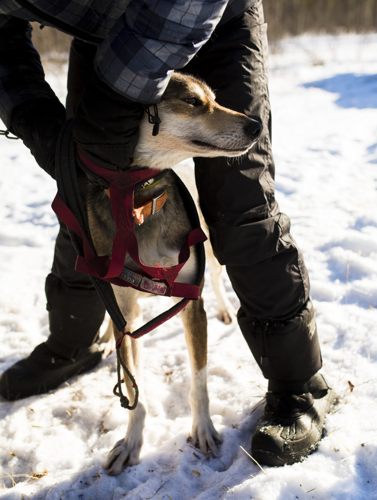 A sled dog gets harnessed up during the Babe Southwick Memorial race on Feb.18, 2017 outside Whitehorse. Photo by Marissa Tiel