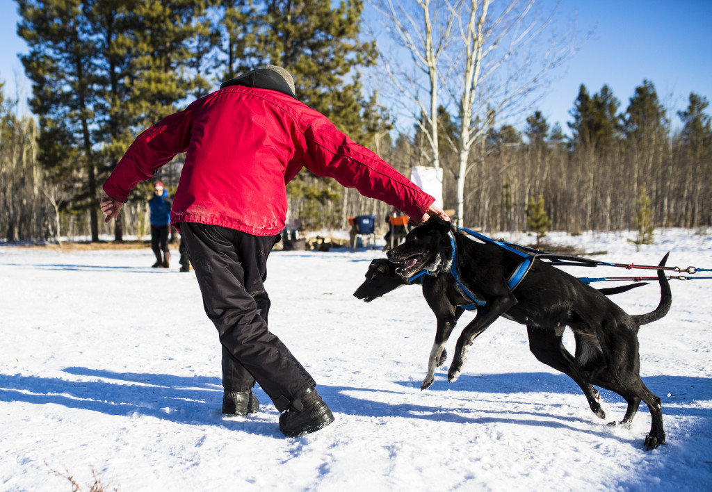 A handler guides a team to the start line during the Babe Southwick Memorial race on Feb.18, 2017 outside Whitehorse. Photo by Marissa Tiel